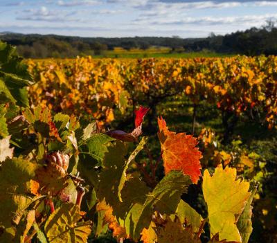 Implantation du vignoble à Béziers